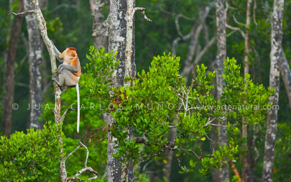 Indonesia mono narigudo indonesia orangután en sumatra indonesia